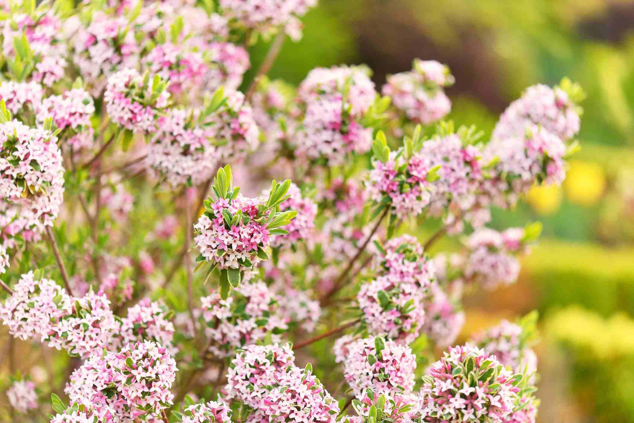 Daphne burkwoodii in bloom in pink.