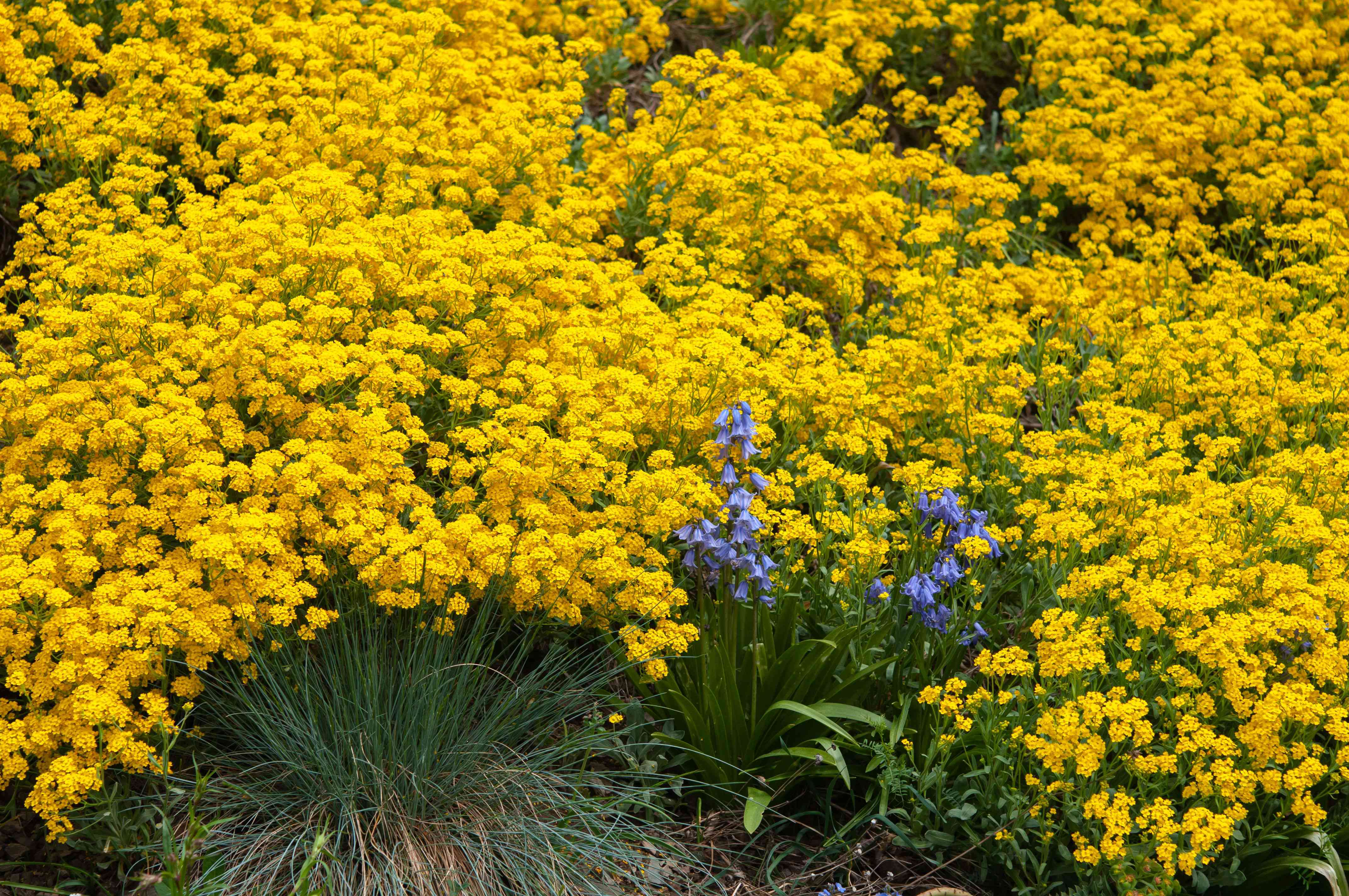 Yellow alyssum flowers with small yellow petals clustered on end of thin green stems