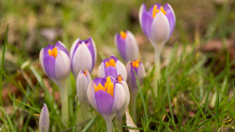Purple crocus blooming