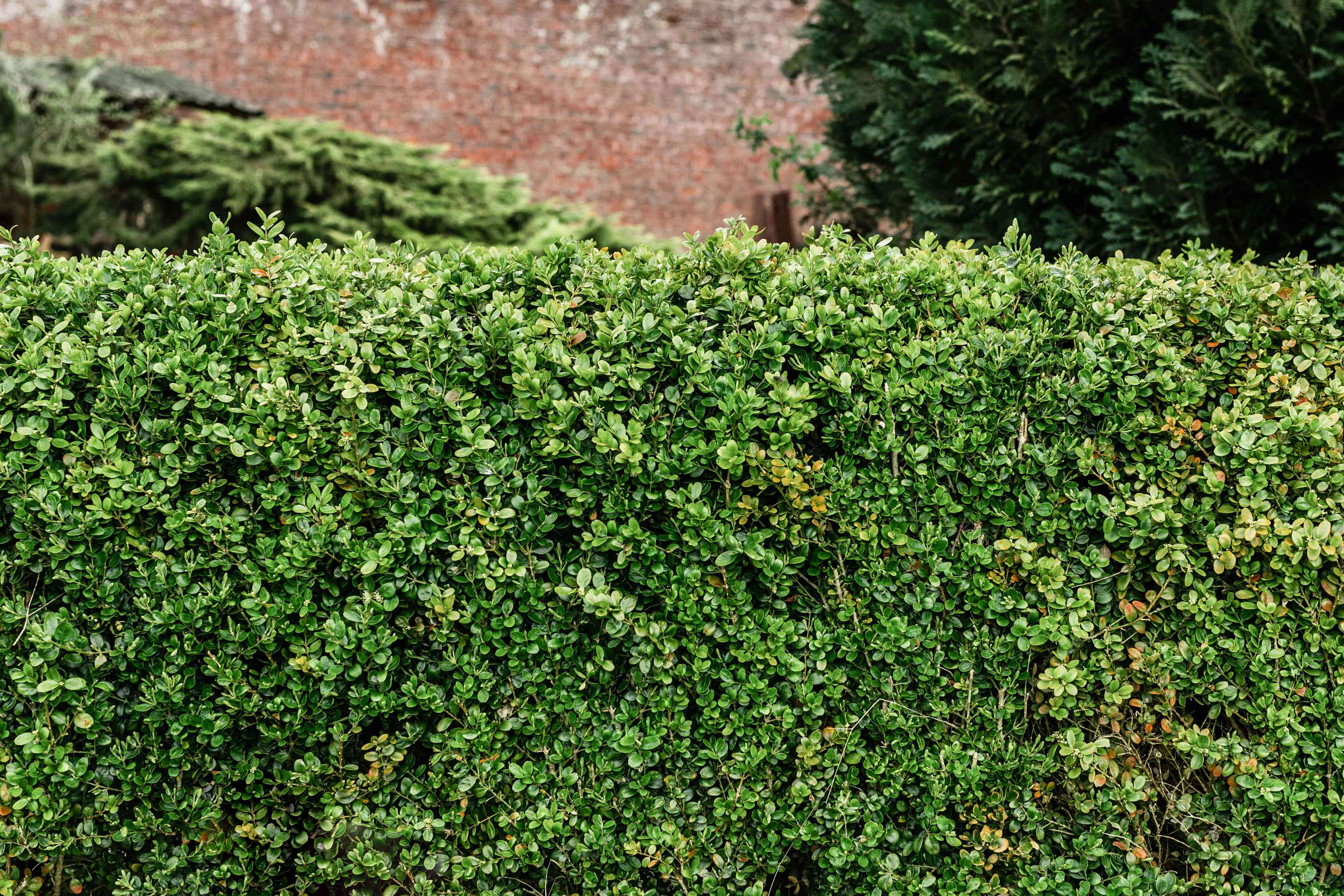 Boxwood evergreen tree with small compact leaves as hedge