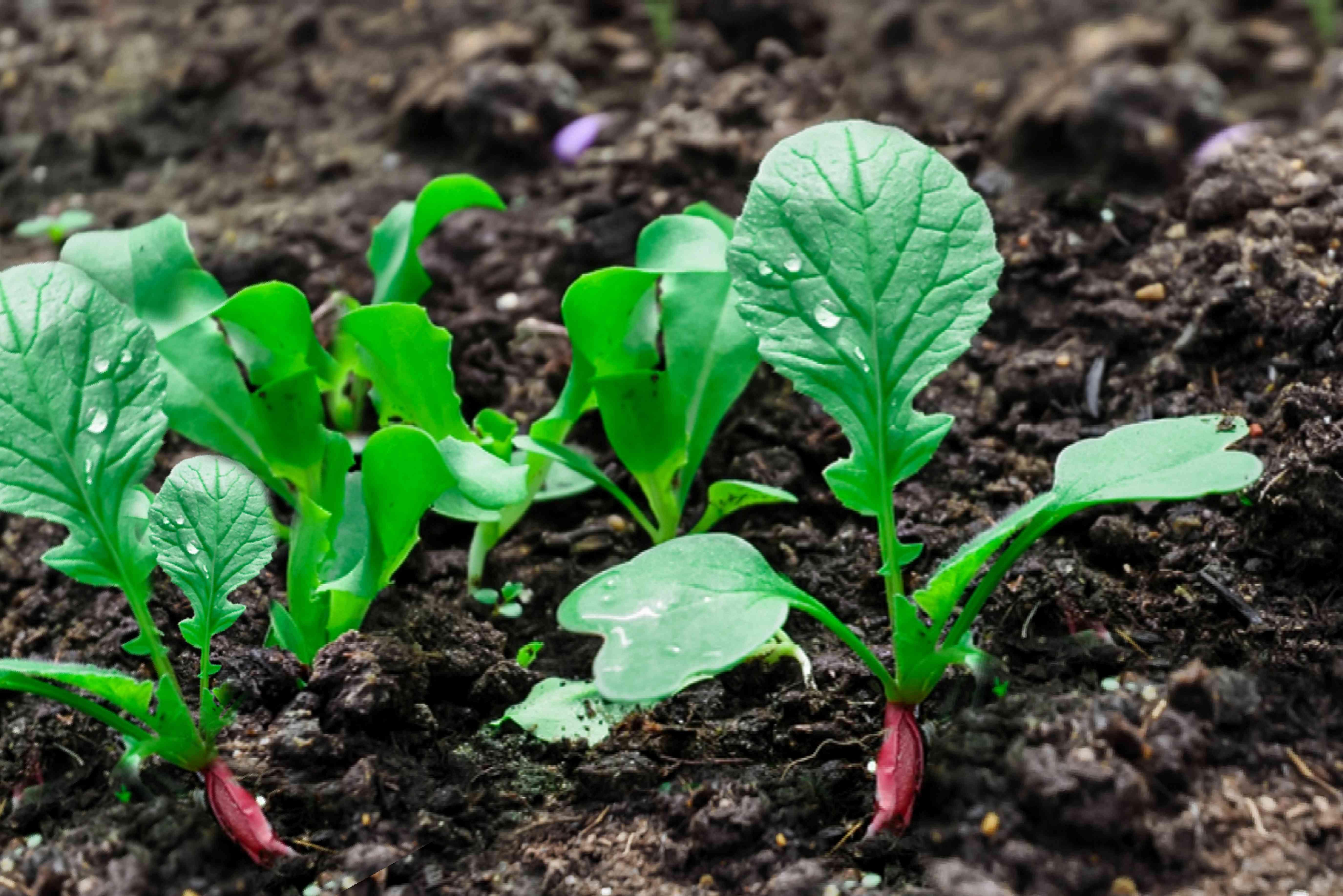 radish crop sprouting