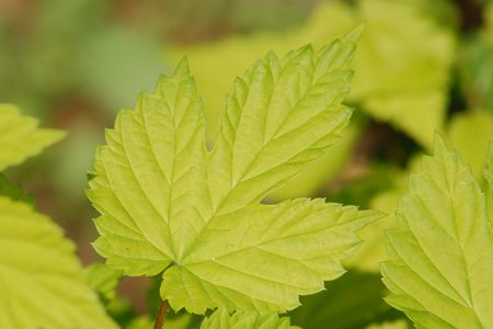 Summer Shandy Hops Vines: A Golden Touch for Your Yard