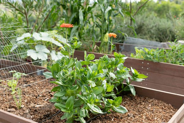 Garden bed with heat-resistant plant with small orange flowers