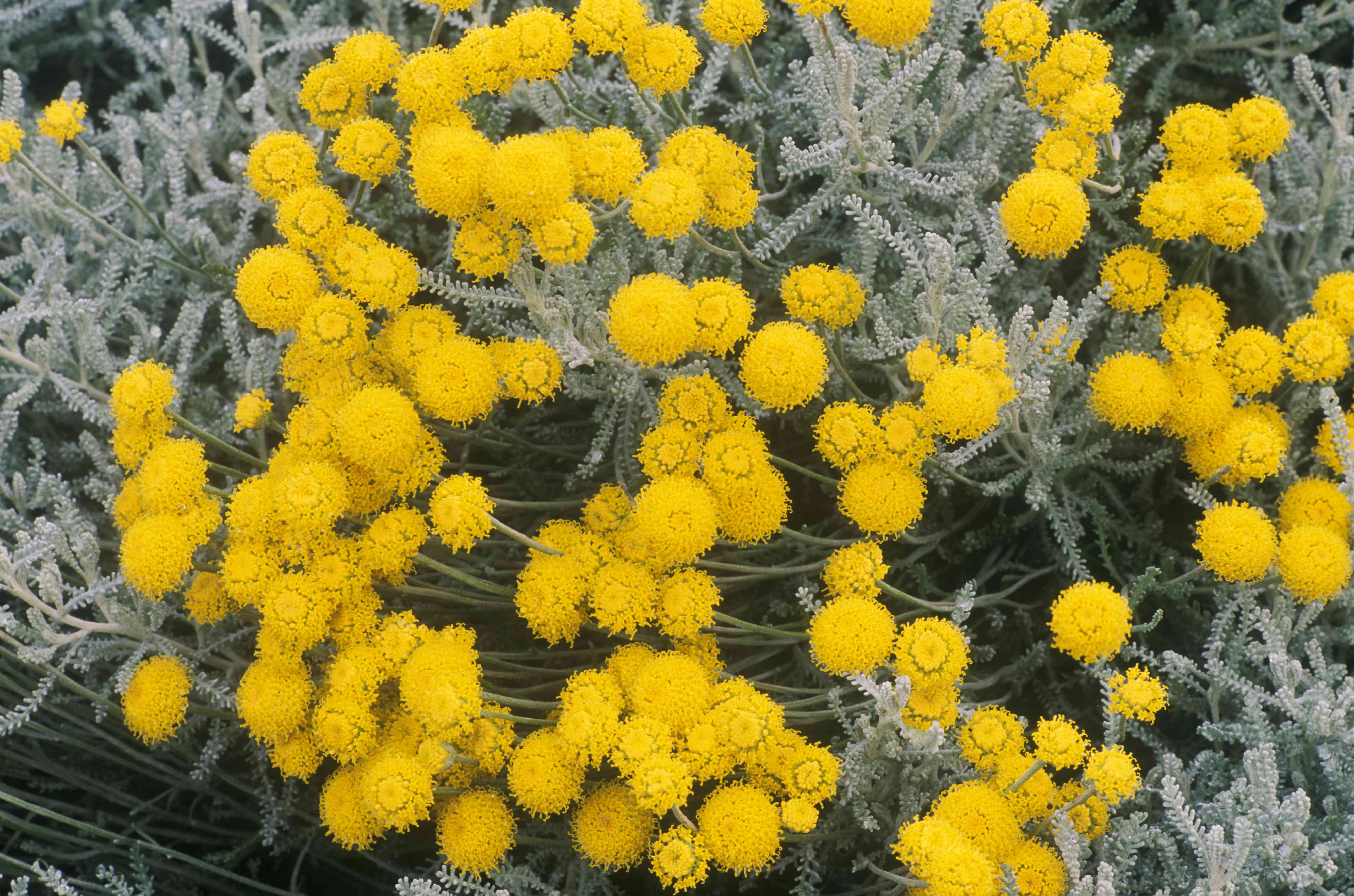 Algodón lavanda (Santolina chamaecyparissus)