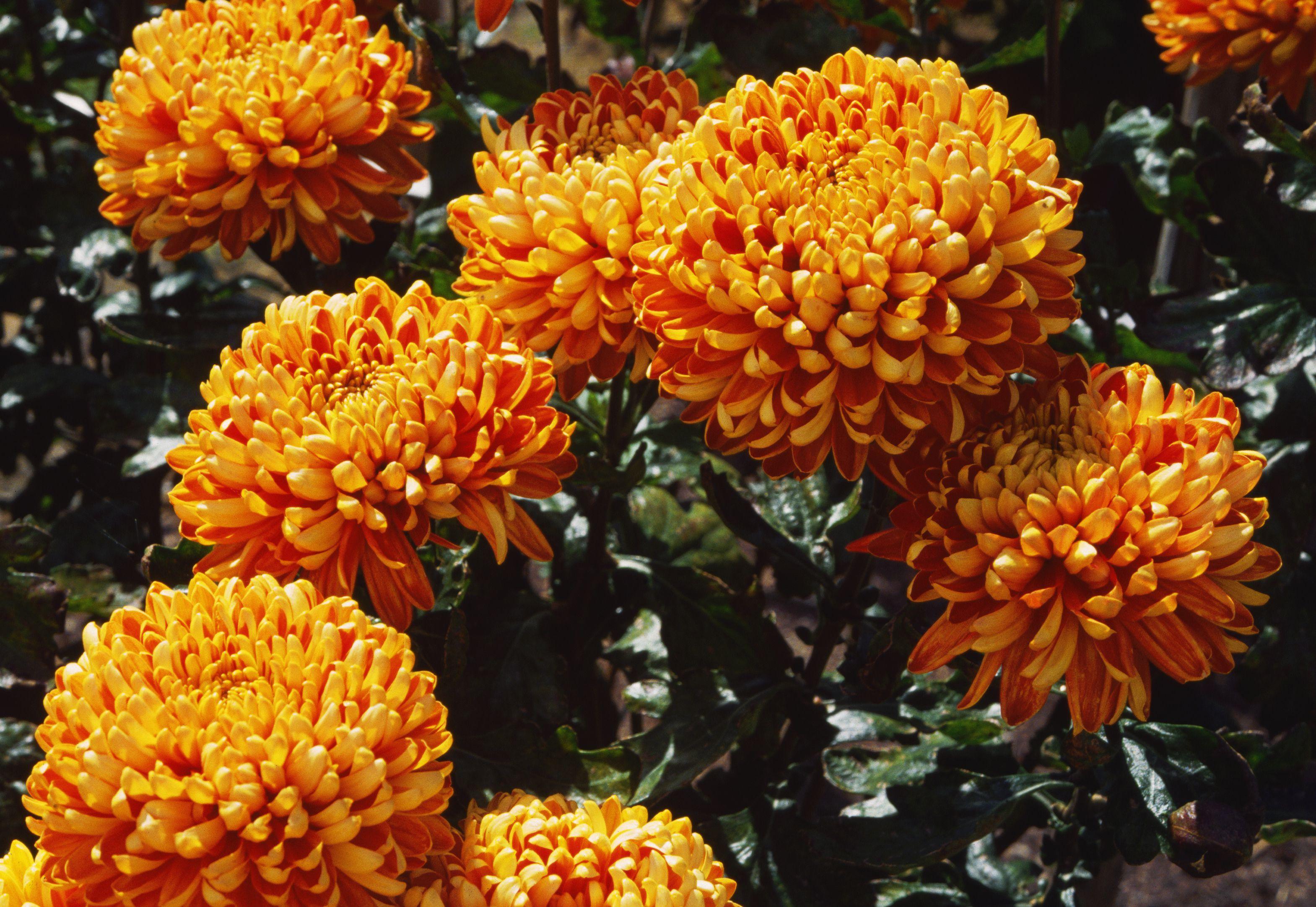 'Autumn Days' Chrysanthemums