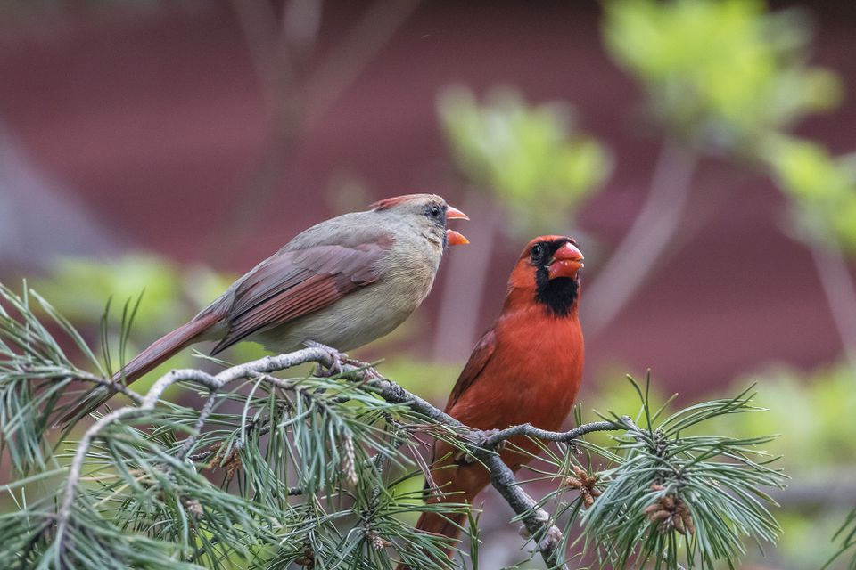 two Northern Cardinals