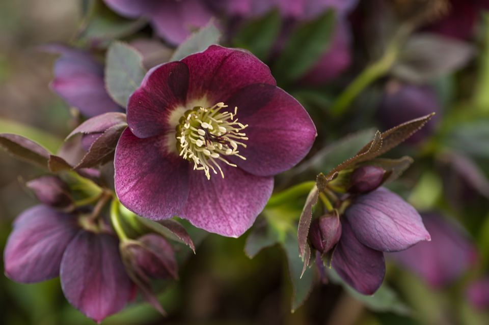 Hellebore plant with purple flowers closeup