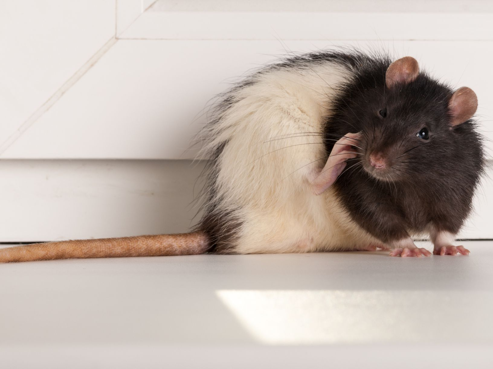 The Difference Between Rats And Mice And Why It Matters