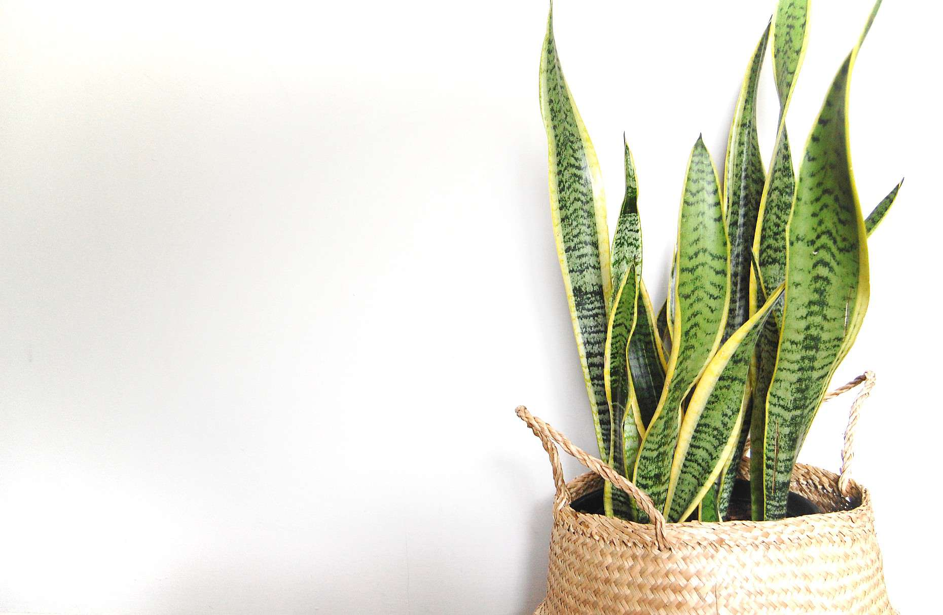 A snake plant sits in a wicker basket in front of a white wall.
