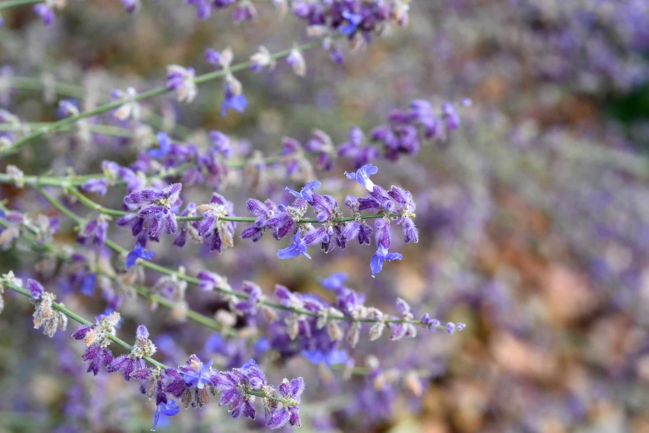 Russian sage; Perovskia atriplicifolia; Little Spire; medicinal plants; Herbs;