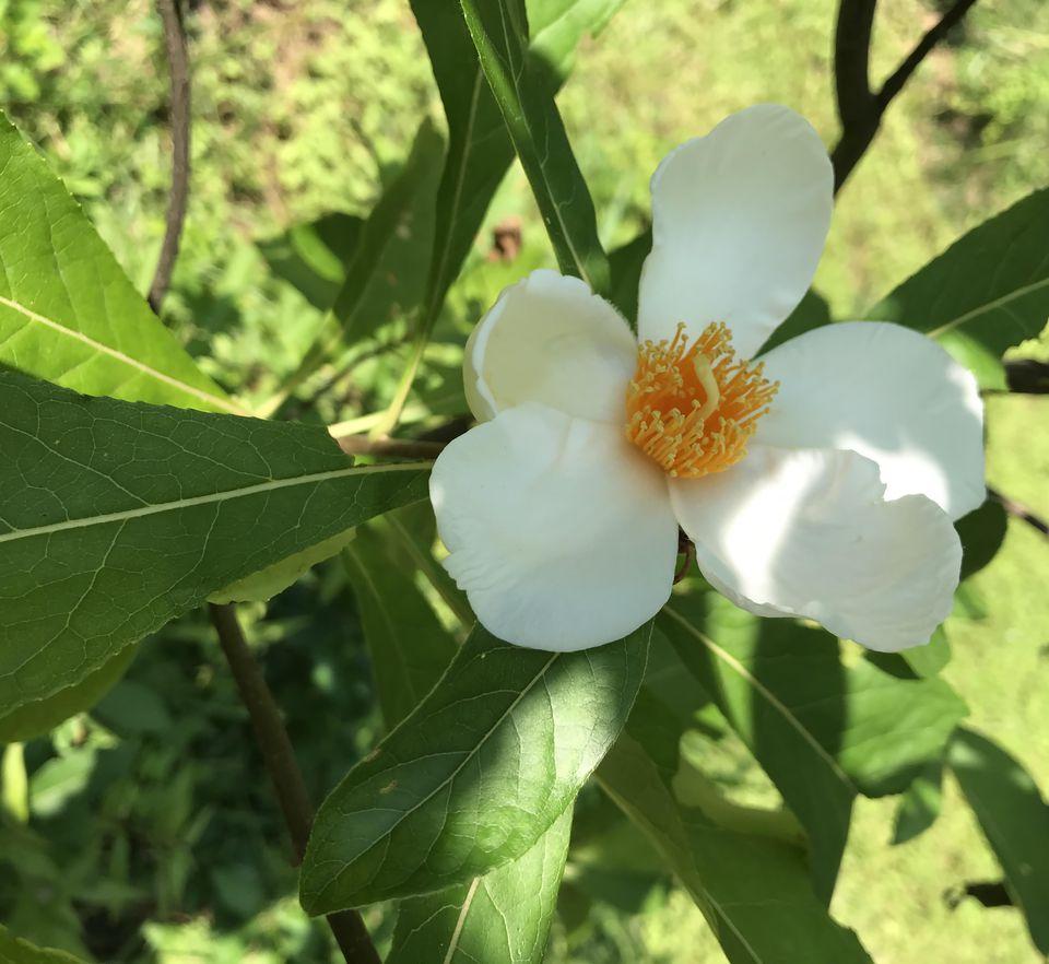 Closeup of a Franklinia flower