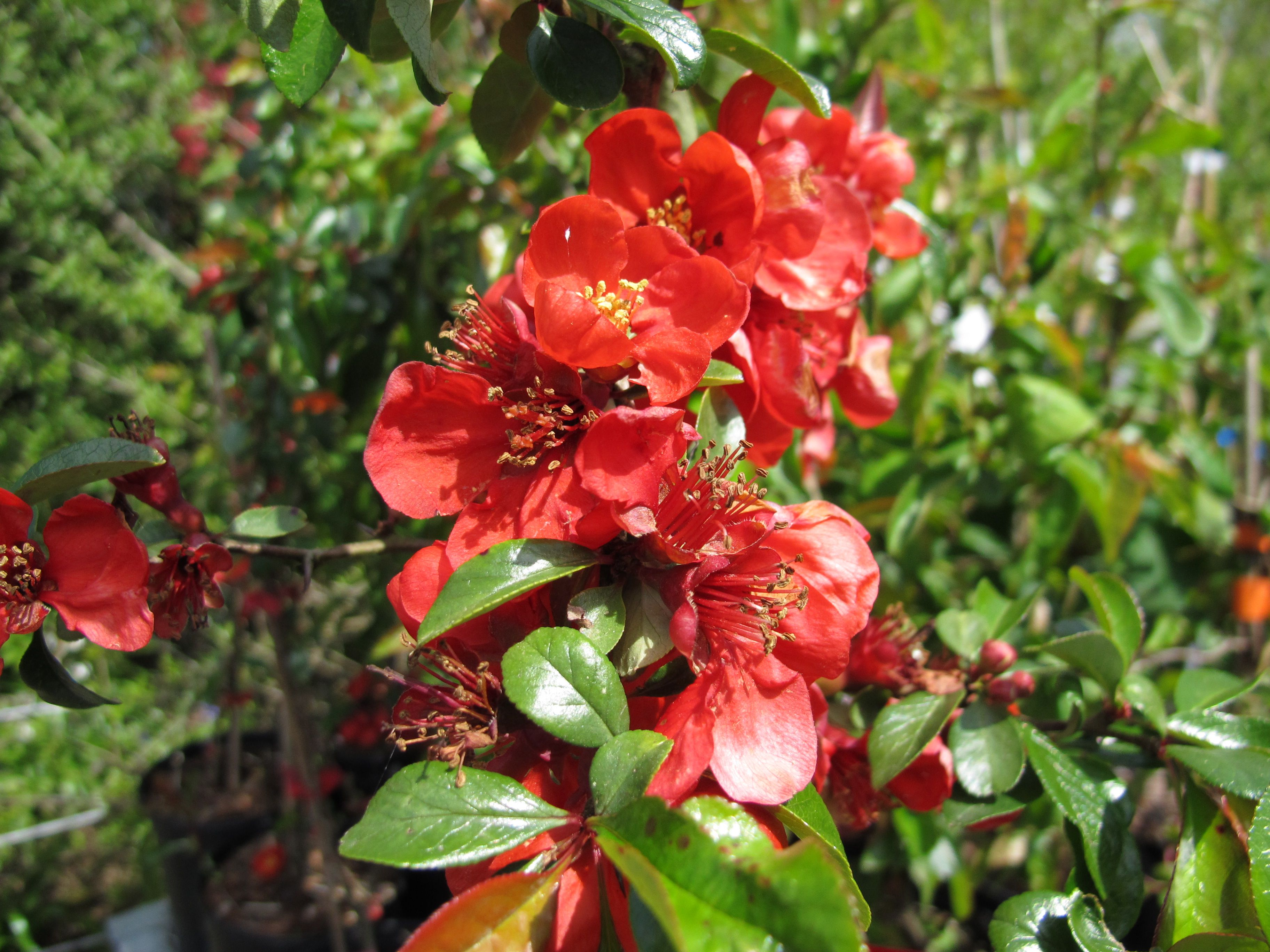 Japanese Quince Growing Profile