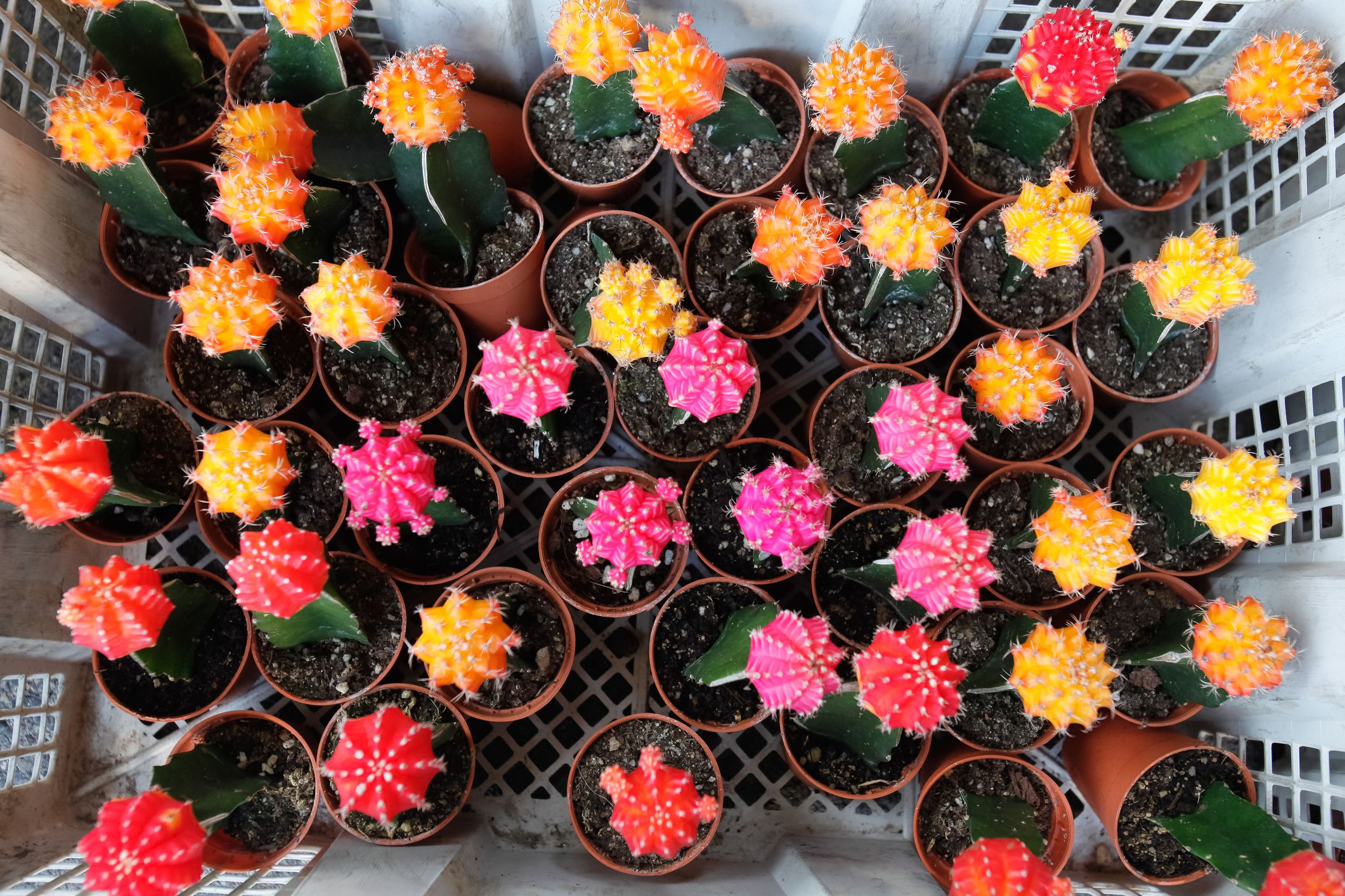 How To Care And Grow Ruby Ball Cactus Moon Cactus
