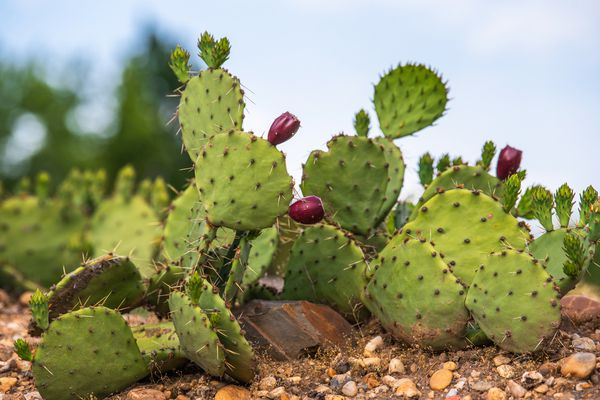 Prickly pear cactus plant with round spiny leaves and purple-red flower blooms