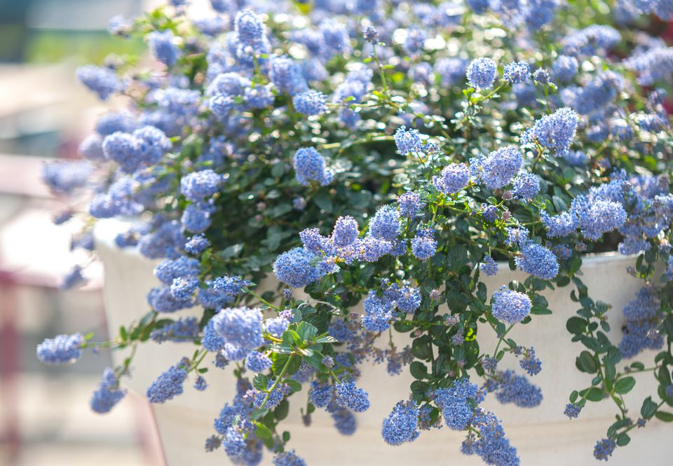 Blue blossom ceanothus shrub branches with small green leaves and small blue flower clusters hanging off white pot