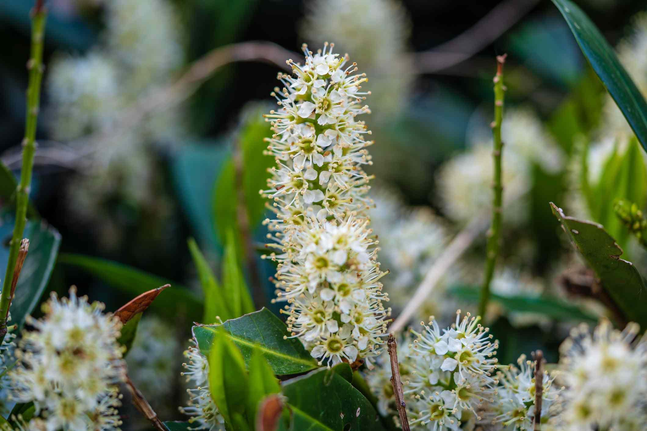 Cherry Laurel or Common Laurel (Prunus laurocerasus)
