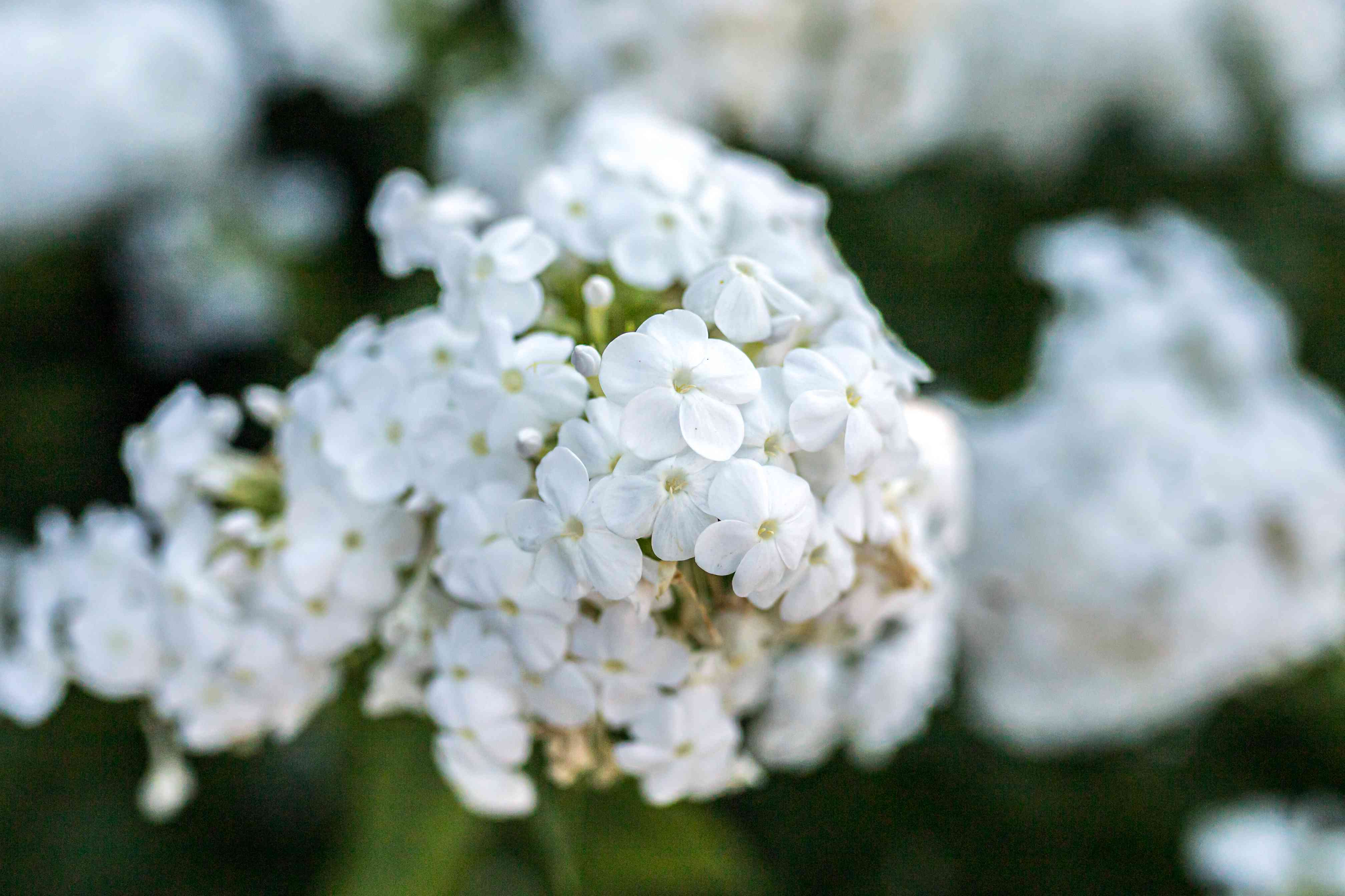 closeup of snowball bush