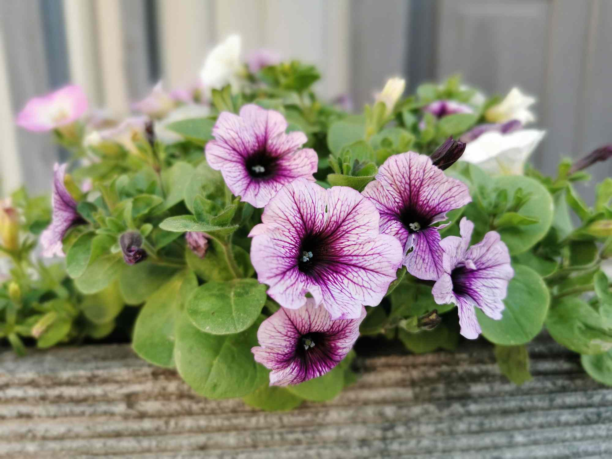 Petunia flowers in window box