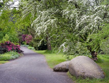 English hawthorn tree with white blooms and sprawling branches next to cement pathway and large boulder