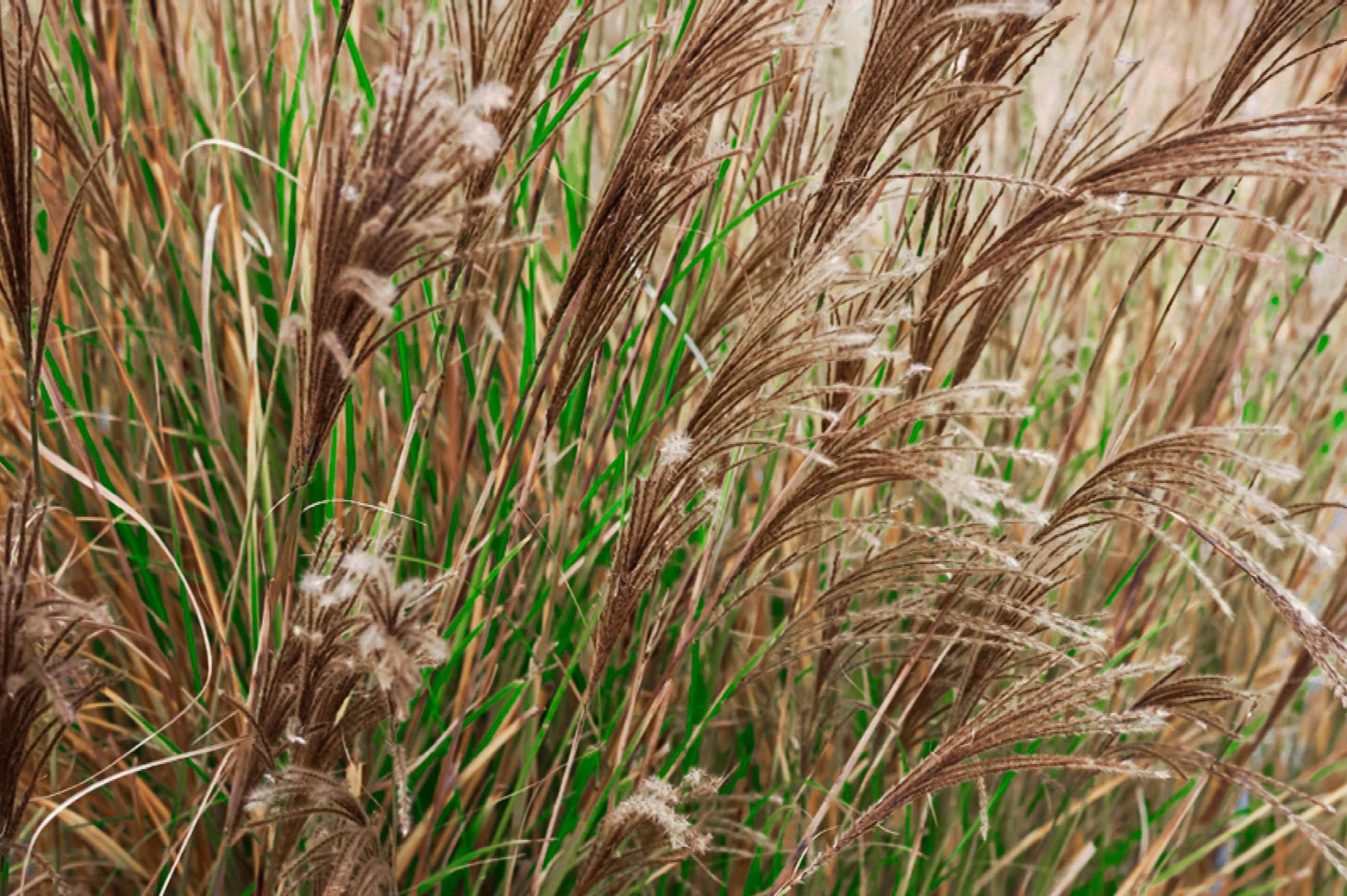 Ornamental grass with tan wheat-like plumes in warm season closeup
