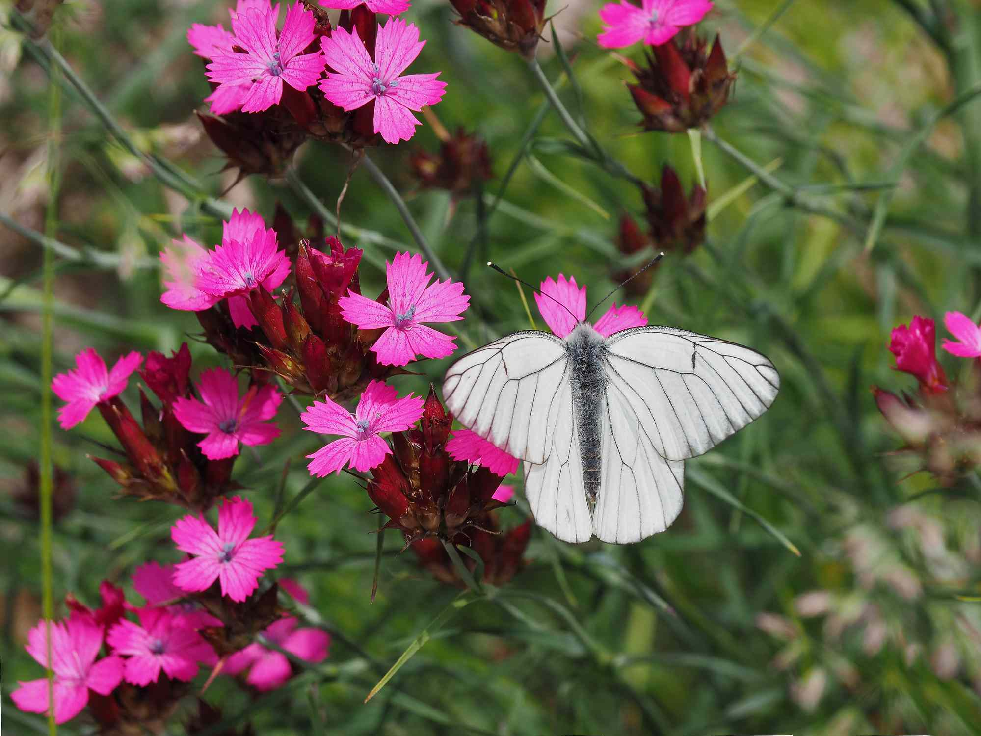 Dianthus deltoides (Maiden Pink) And White Butterfly