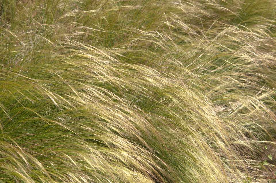 Mexican feather grass plant with long tan blades blowing in wind