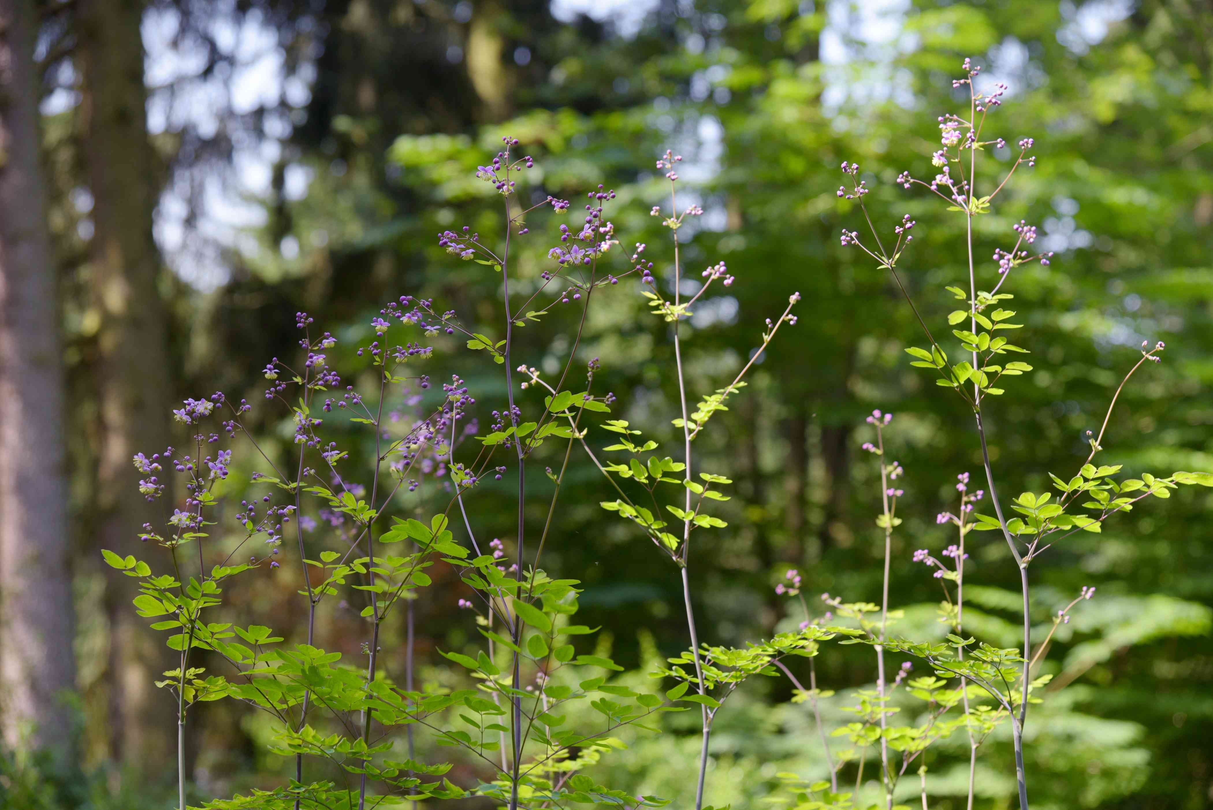 Meadow rue plant with thin stems and small bright green leaves and small purple flowers