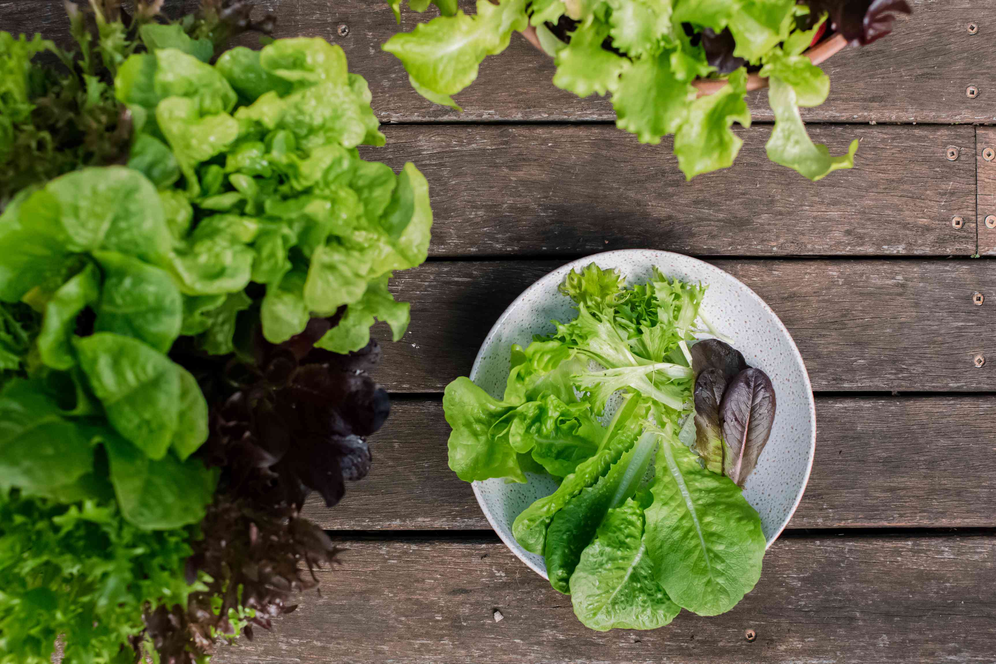 lettuce plants and harvest