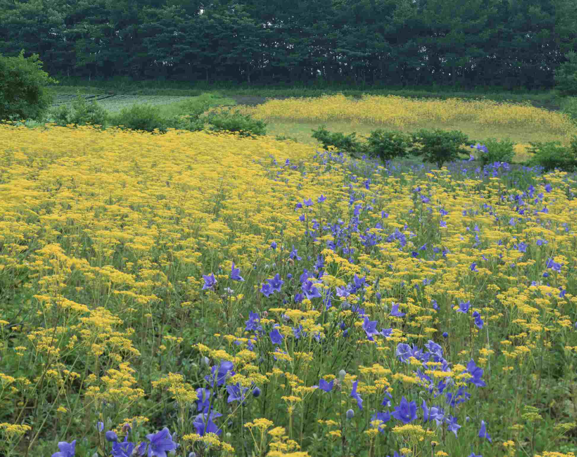 Japan, Nagano Prefecture, Balloon Flowers (Platycodon grandiflorus) and Golden Lace (Patrinia scabiosifolia) flowers
