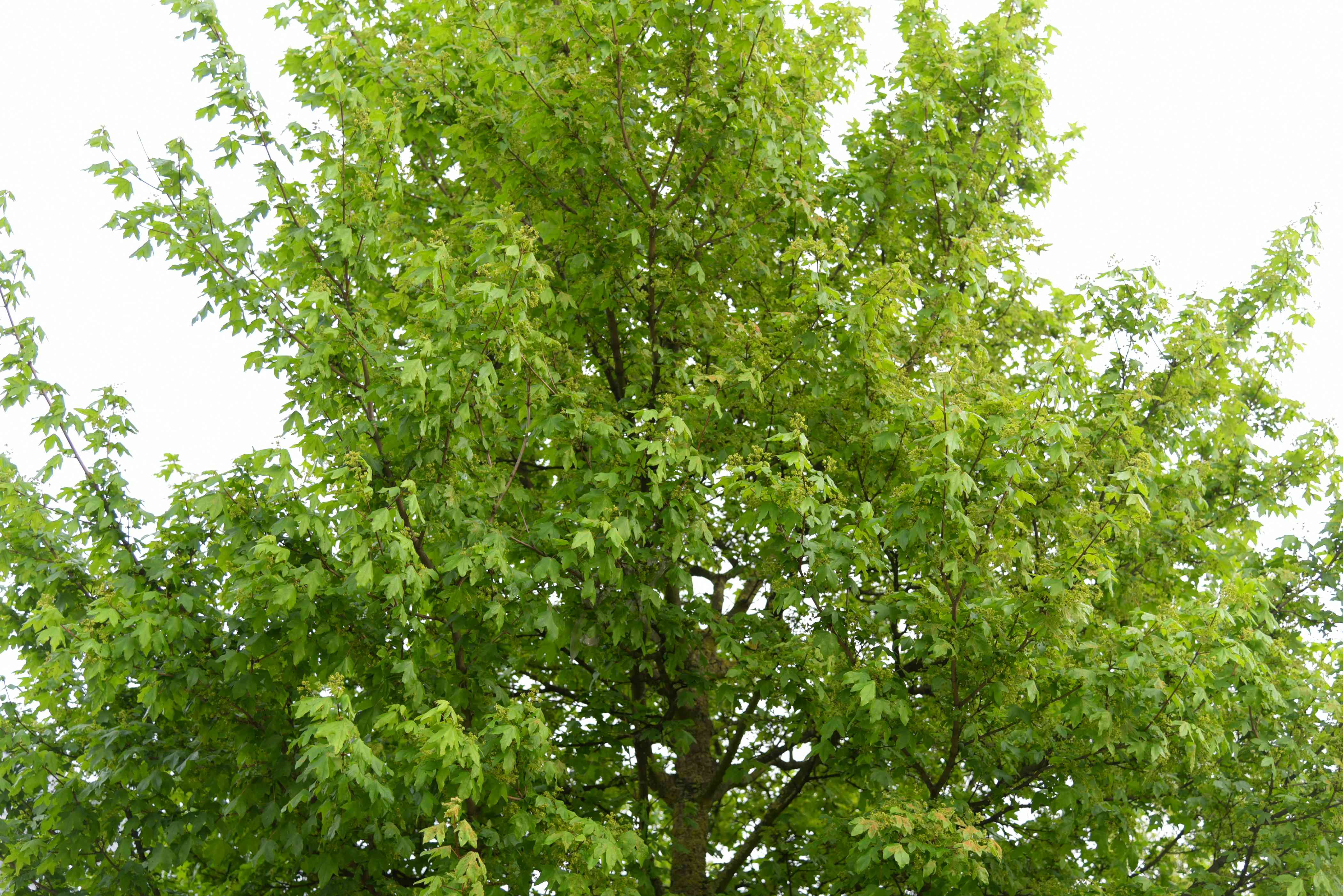 Hedge maple tree branches with bright green leaves growing upwards
