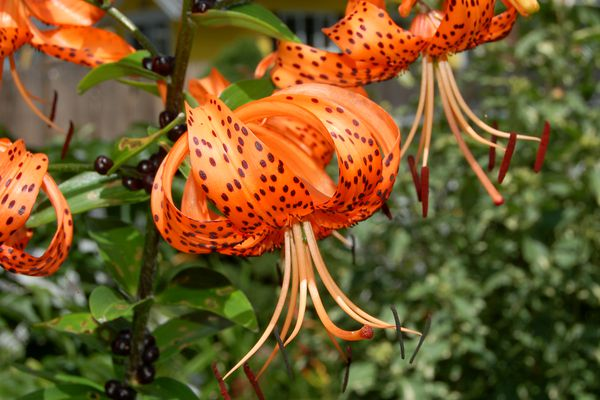 Tiger lily flowers growing in front of bushes