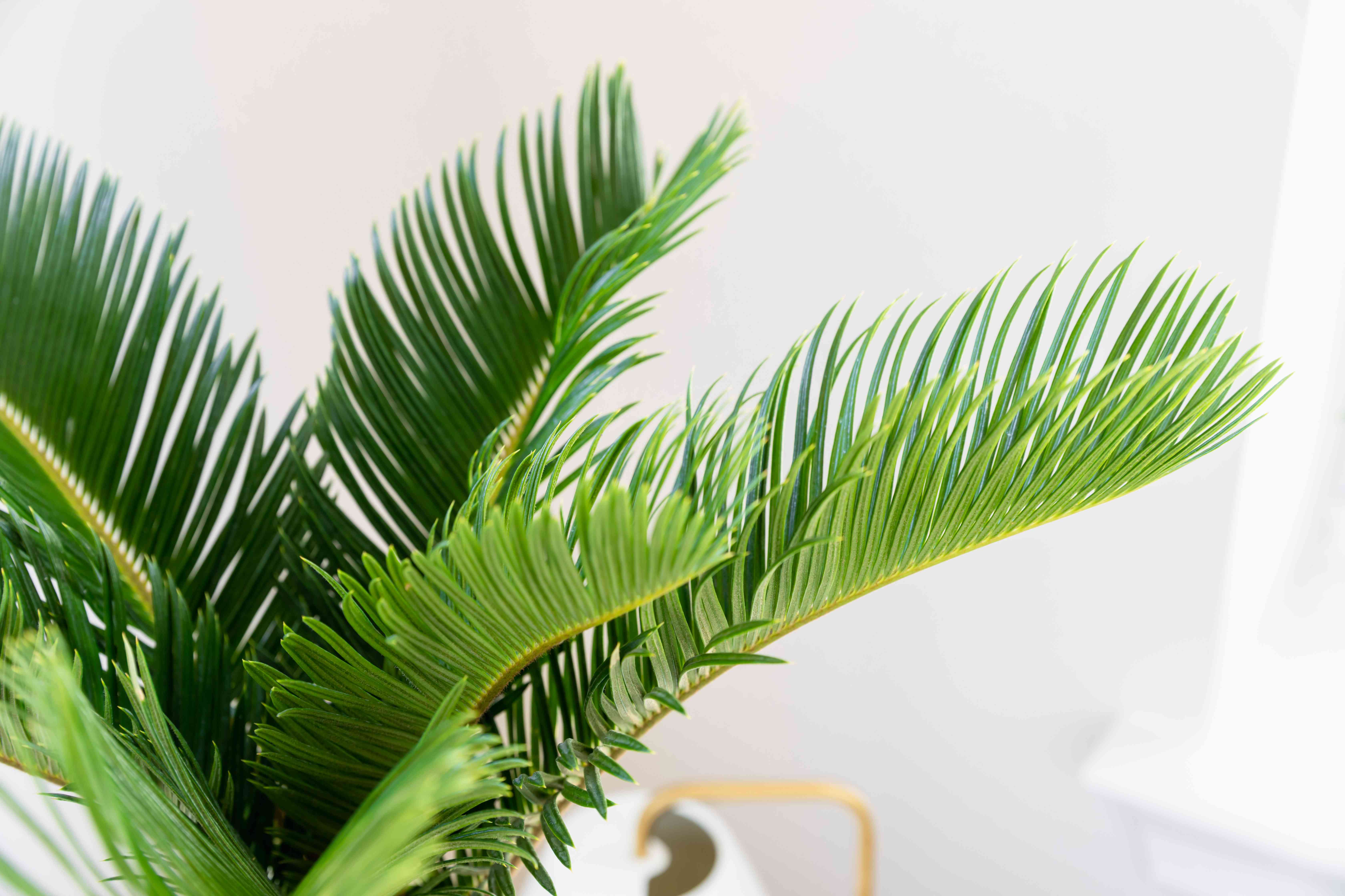 closeup of a sago palm