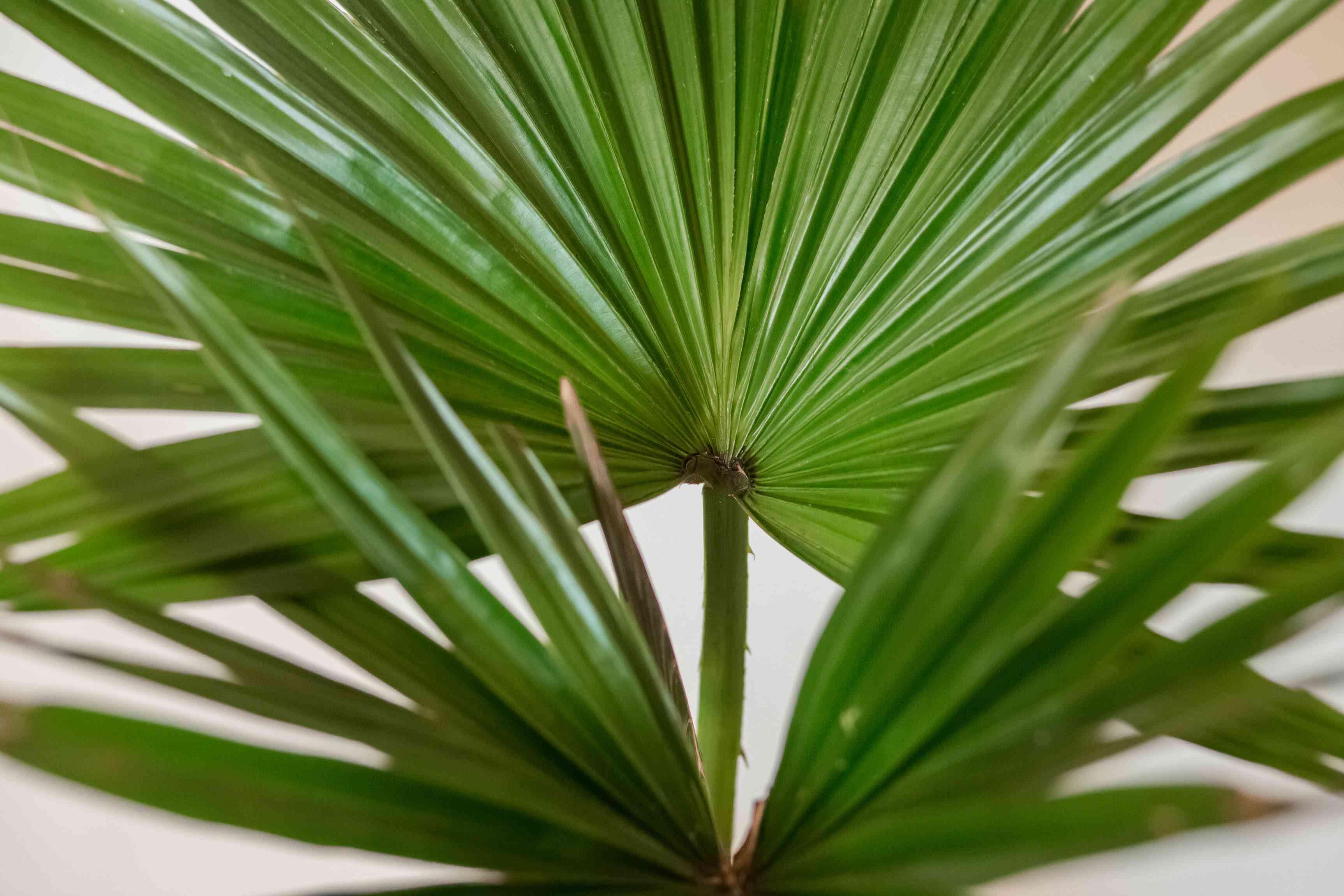 closeup of a Chinese fan palm