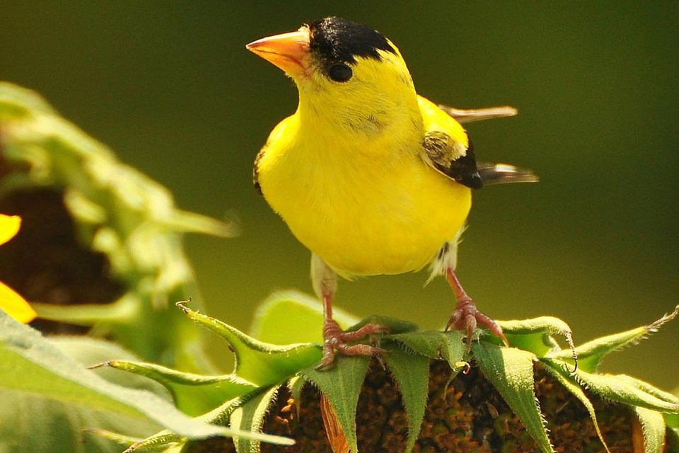 American goldfinch perched on top of a sunflower.