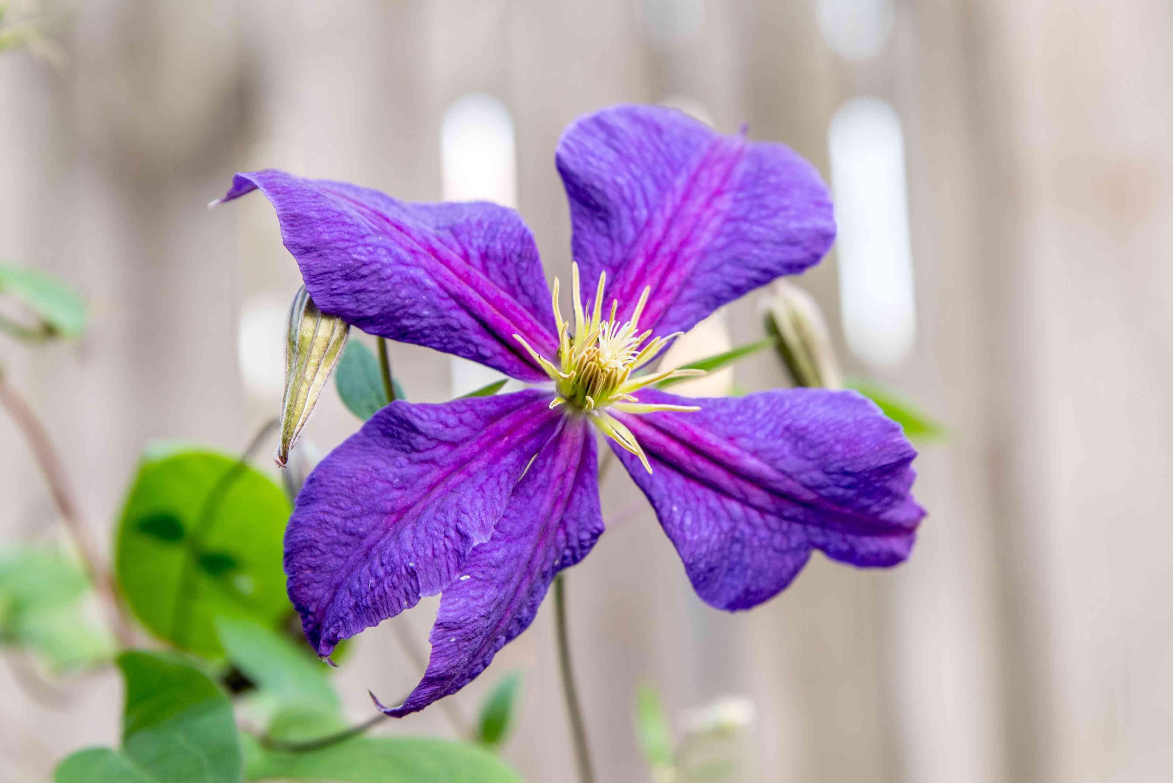 Clematis flower with deep purple colored petals in garden closeup