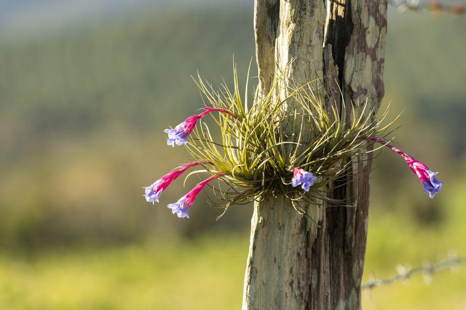 Flowering Tillandsia aeranthos bergeri growing on a fence post