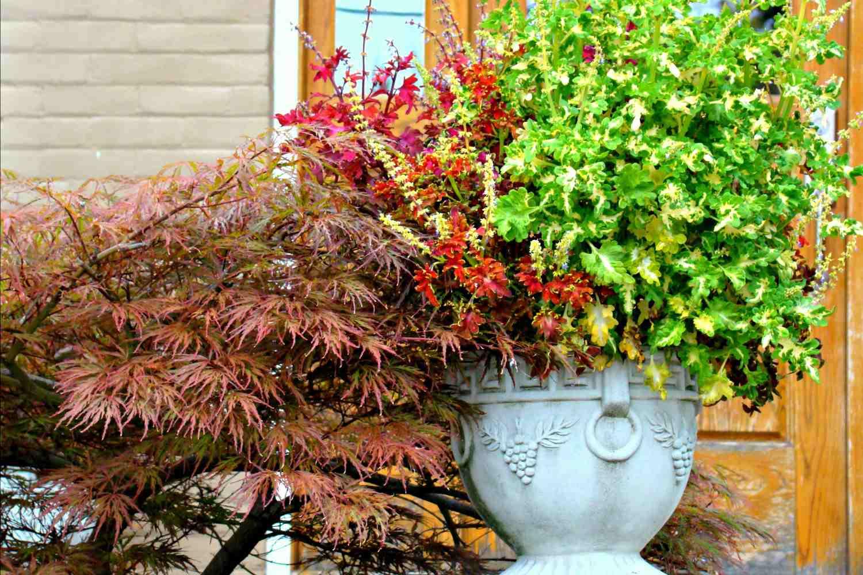 Jardín de contenedores de otoño con arce japonés