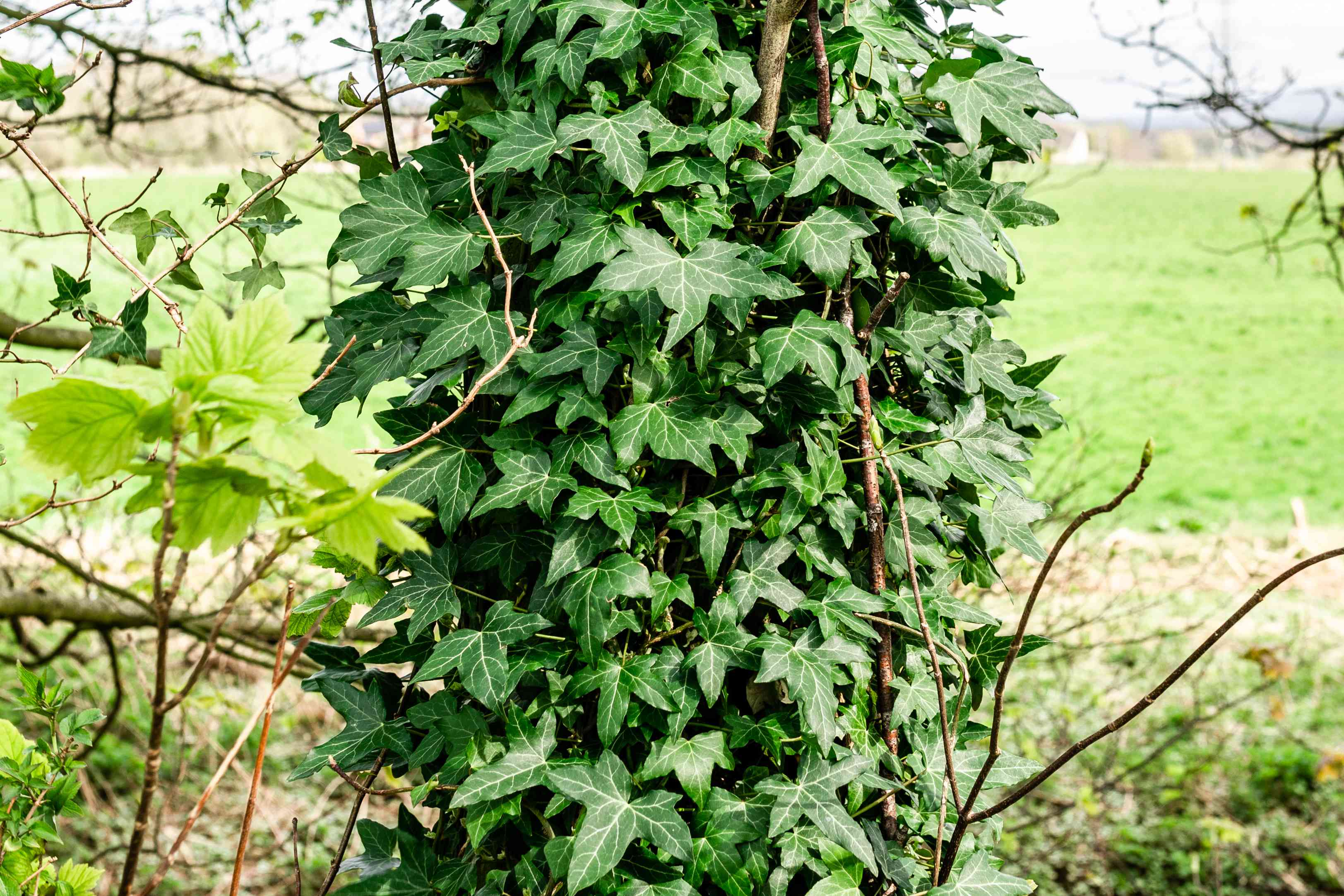 english ivy growing on a tree trunk
