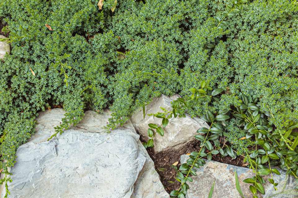 Sedum stonecrop as a groundcover