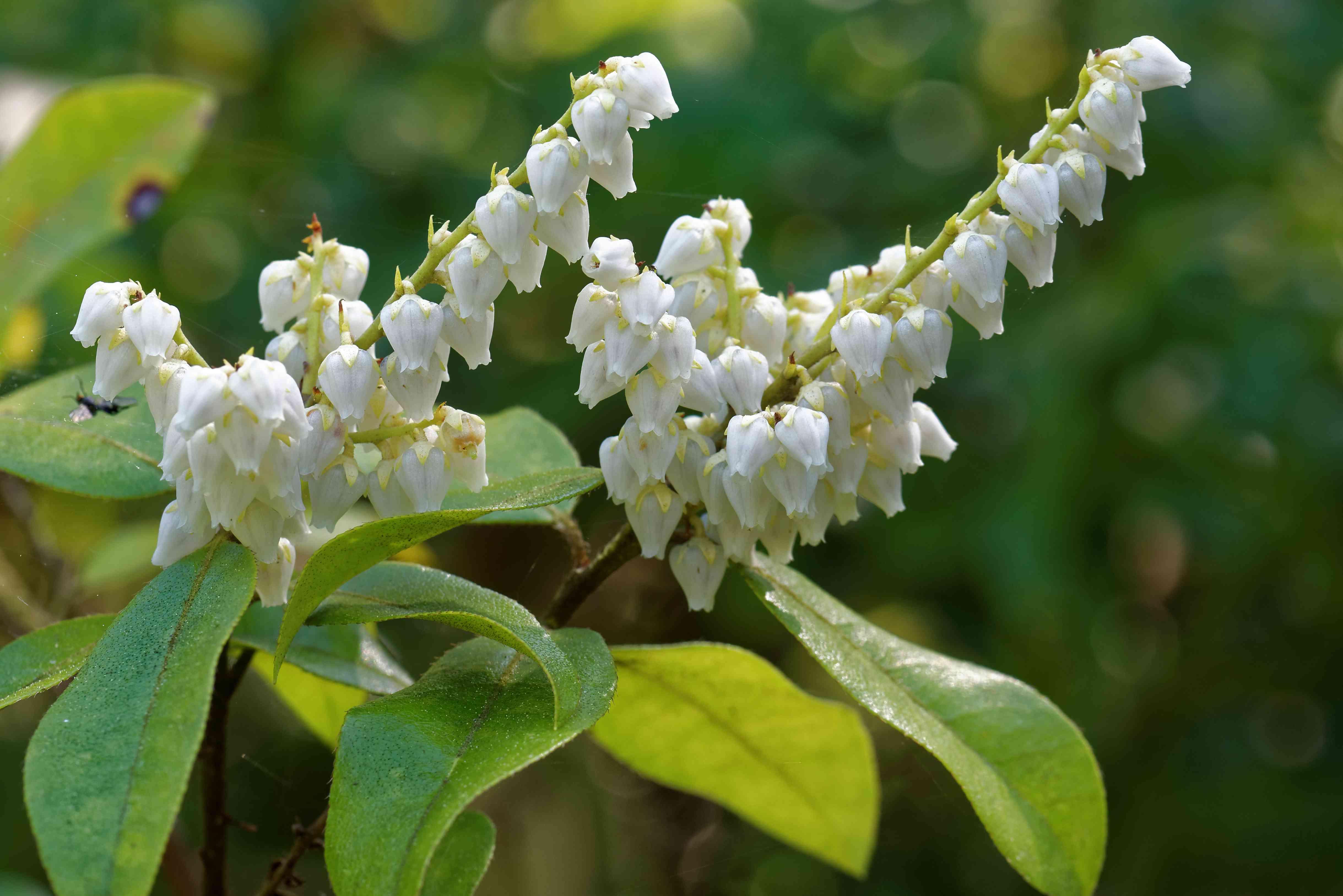 Pieris floribunda flowers.