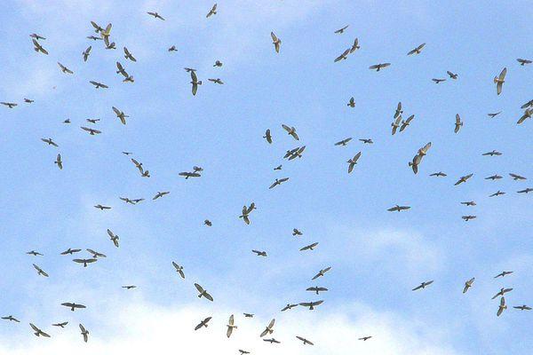 Kettle of Migrating Hawks