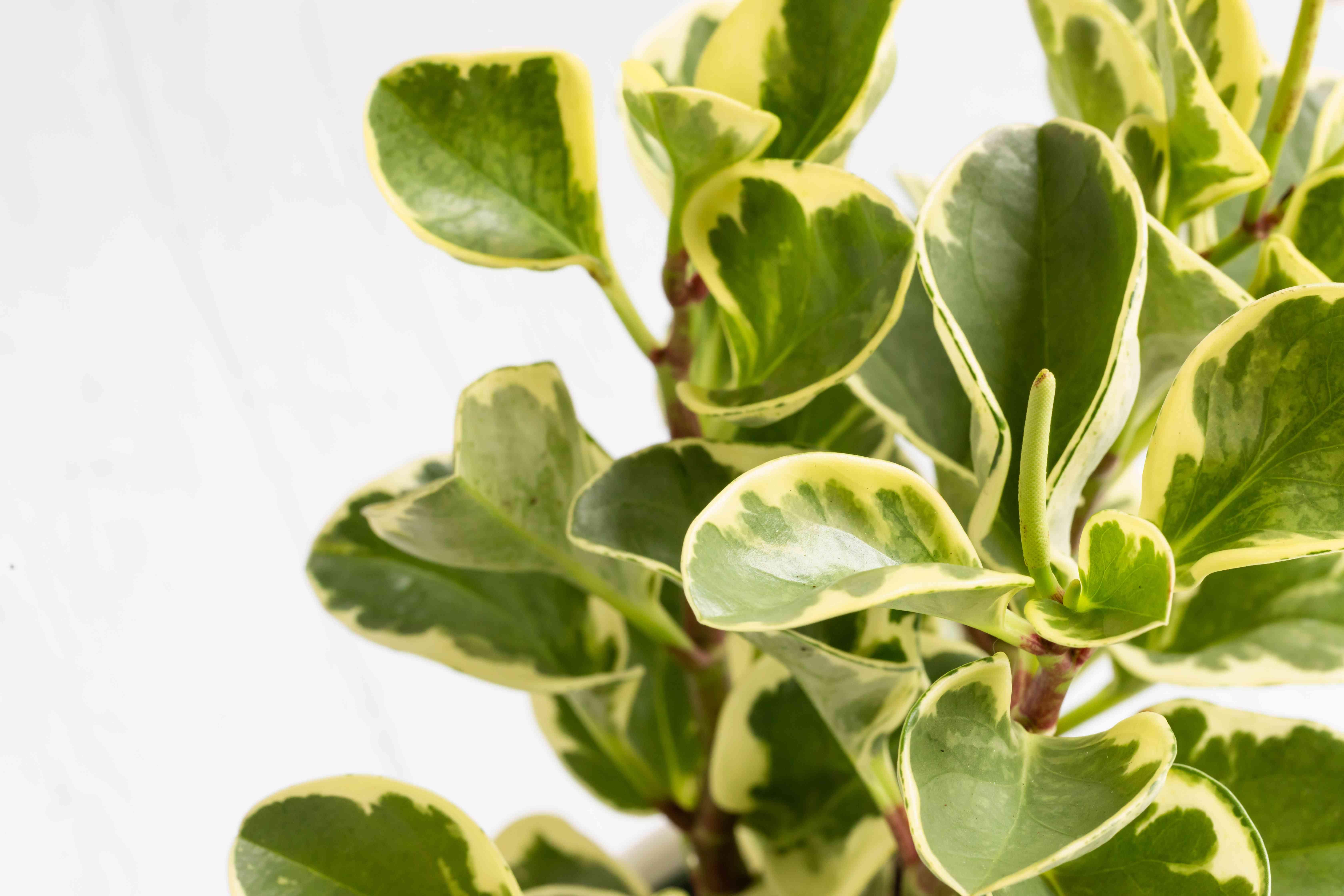 closeup of a peperomia plant
