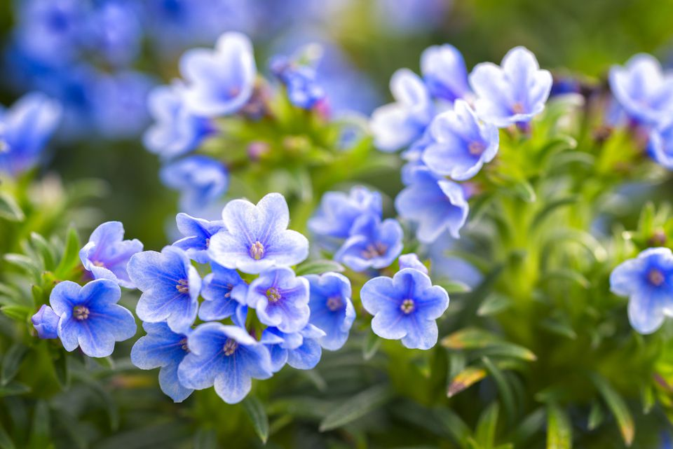 Blooming in blue, Lithodora zahnii