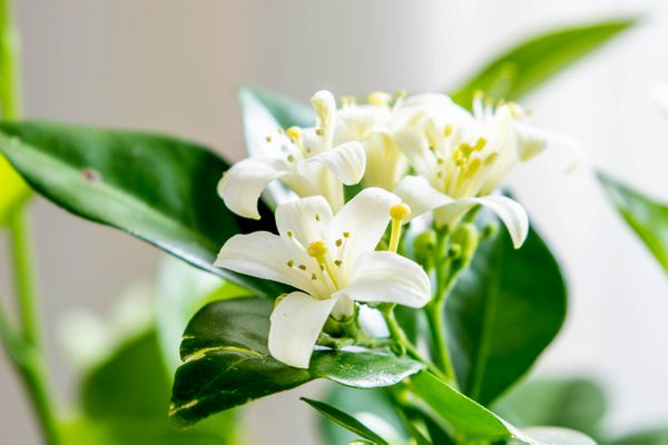 Orange jasmine plant with small white flowers and yellow pistils closeup