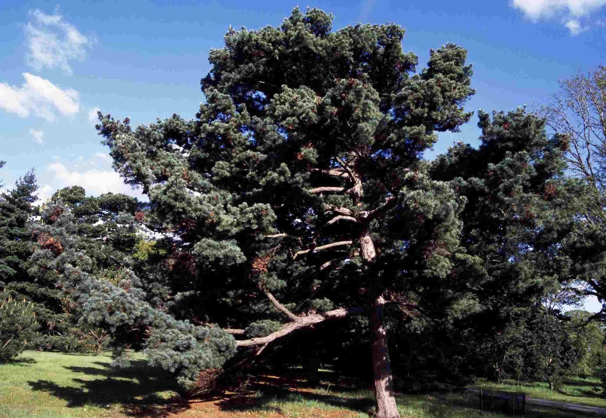 Japanese White Pine (Pinus parvifolia), Pinaceae
