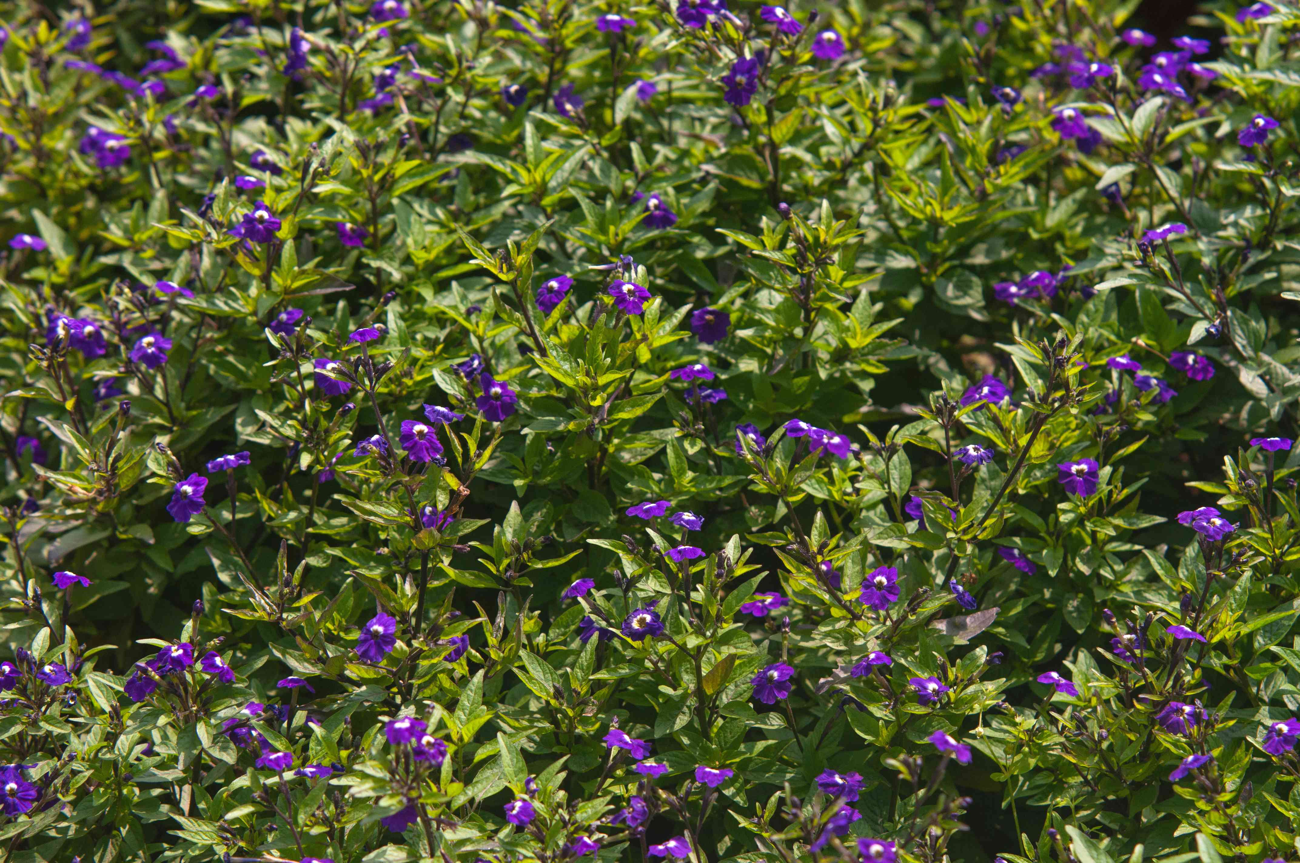 Browallia plant with deep purple flowers on bright green leaf stems in sunlight