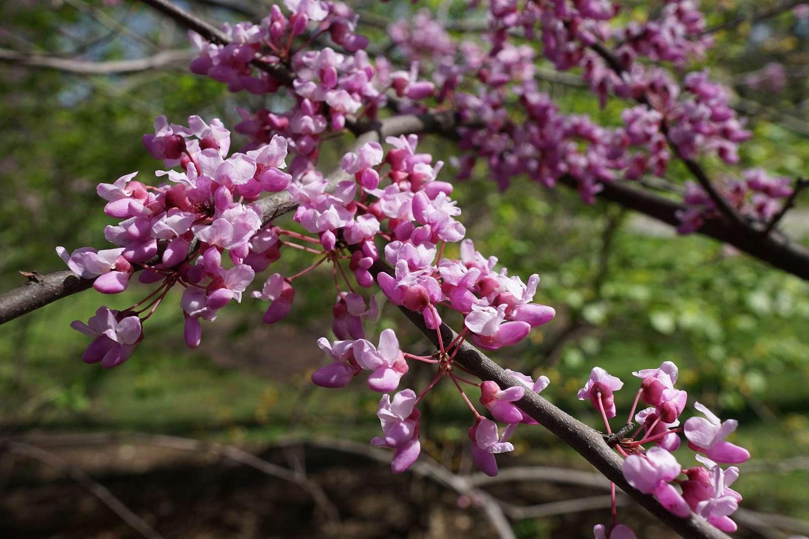 Eastern redbud tree in bloom