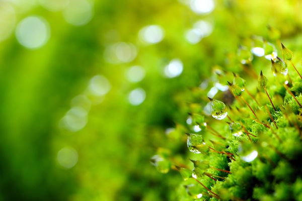 Closeup of moss plants with dew on them