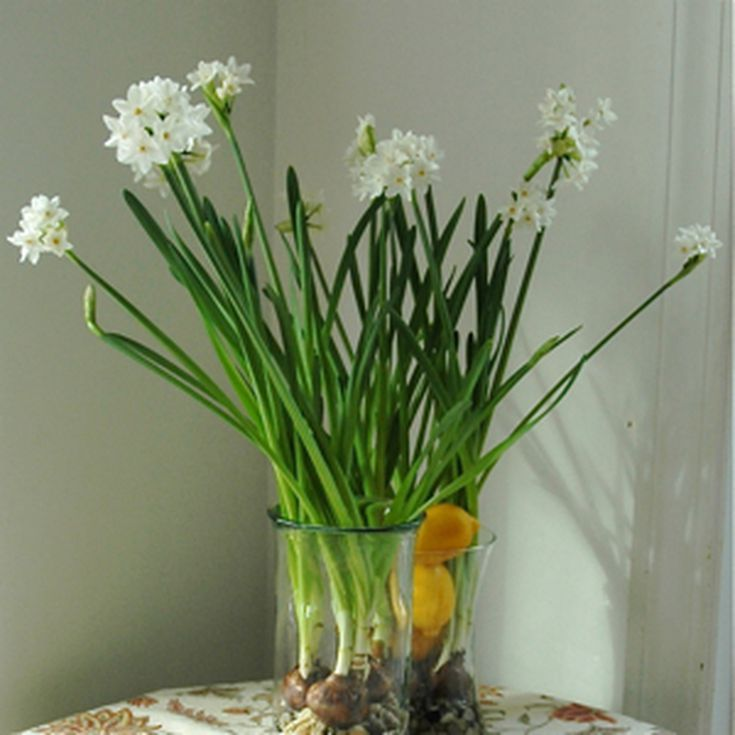 How to force paperwhite narcissus bulbs mightylinksfo