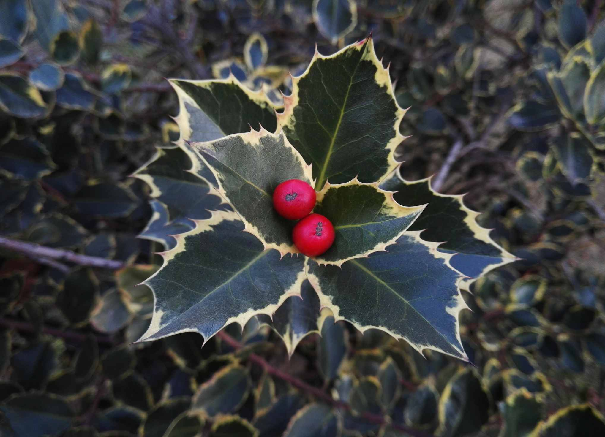 Variegated holly with berries.